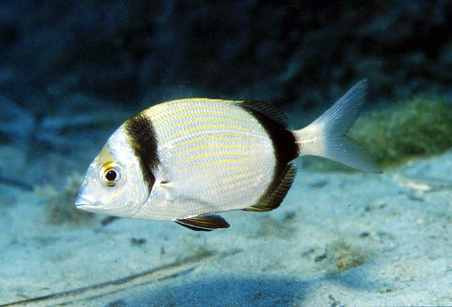 Mojarra informaci n fon fishing for Pez cachama