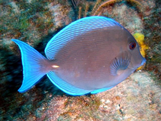 Artes de pesca vamos a pescar navaj n azul for Clases de peces de acuario