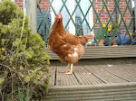 One of our ex-battery hens