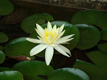 Um Padma  em flor
