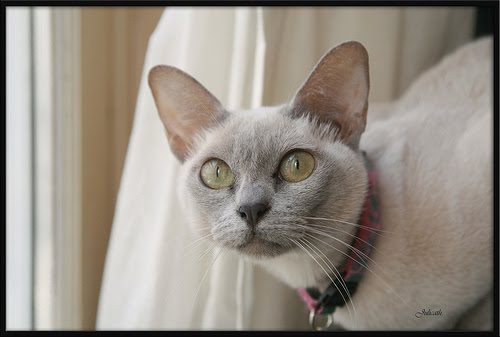 This time it is 167 breeders of the popular Tonkinese cat.