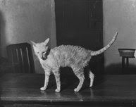 Founding Cornish Rex cat Kallibunker