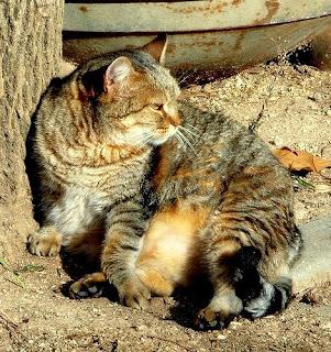 fat stray cat