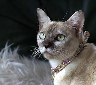 Burmilla cat picture