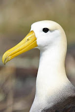 Waved-Albatross
