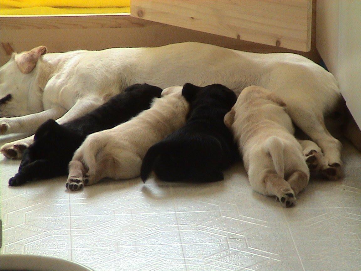 nursing pups - Filhotes de cães com Sopro Cardíaco