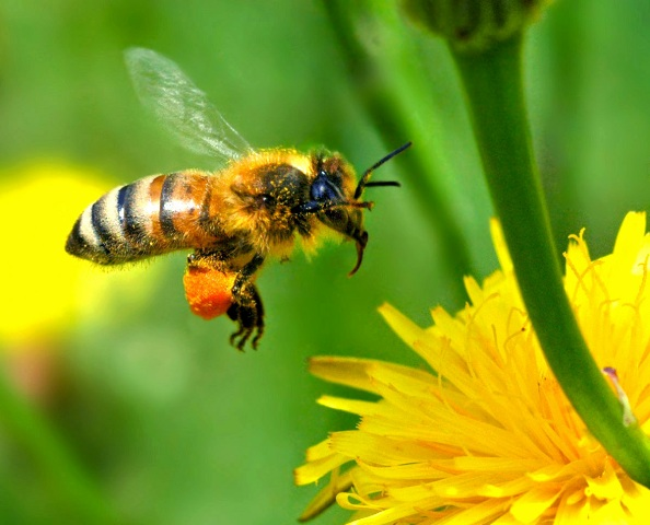 Free Wallpaper Desktop Wallpaper Honey Bee Autan Picture