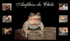 anfibios de chile