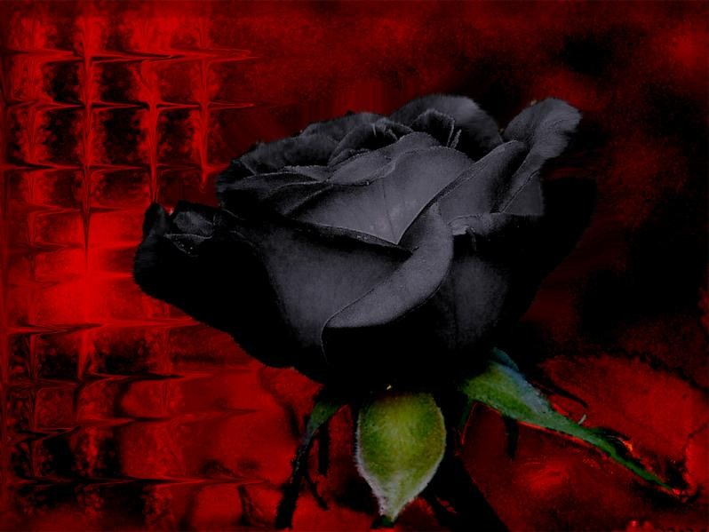 red rose flower wallpaper. rose flowers background.