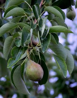 Pears! Mmm! Breakfast!