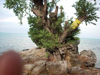 Pohon Setigi, Karimunjawa (Wisata Jepara)