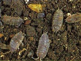 Cochinillas de tierra reproduccion asexual de las plantas