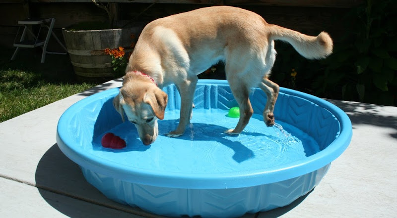 cabana walking in the pool; her back paw is making a little sideways splash