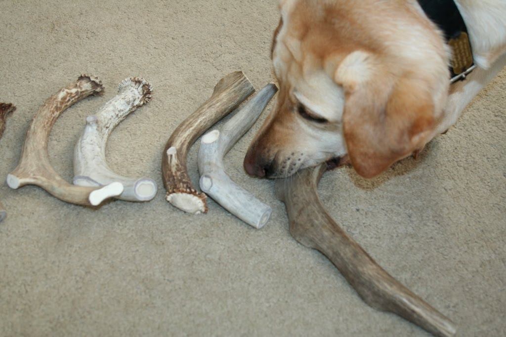 cabana picks up the largest antler on the end