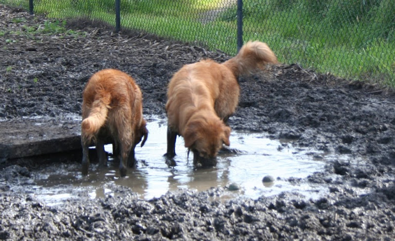 two goldens standing in a humongous and gooky mud puddle, with their face down in the mud