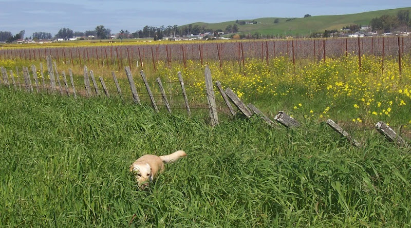 there's a dilapidated fence with some falling down areas, cabana is on this side of the fence in tall grass, she's nearly hidden by the grass, but you can see the top half of her skulking through it, there is a vineyard on the other side of the fence with lots of stakes that the vines are tied to, along with yellow mustard flowers, and hills in the background