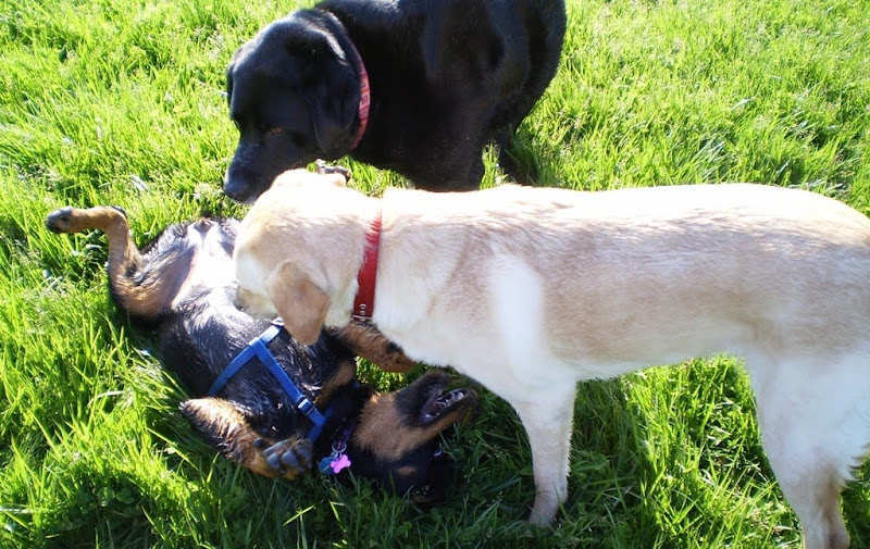 cabana and a rather overweight black lab are calmly looking down at a rottweiler puppy who has rolled over to show her tummy to them, the pup is wearing a blue walking harness