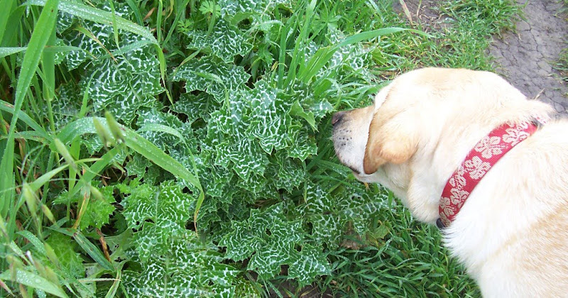 cabana sniffing a low-to-the-ground plant with interesting green and white striped leaves, the leaves are shaped sort of like big dandelion leaves, but there are sharp thorny prickles all along the edges