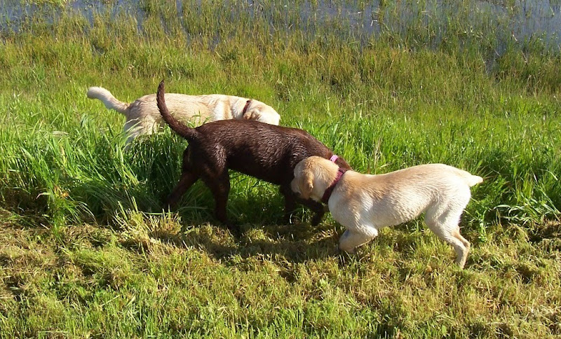 three pups in an overlapping line, sniffing each other