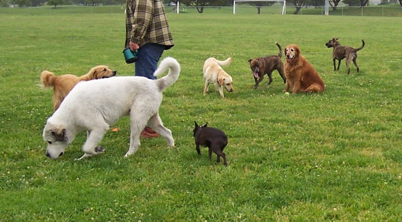 7 dogs of differing breeds in field of green grass, cabana is in the center, looking down at the grass, there are a couple golden retrievers, two pit bull mixes, a boston terrier, and a huge silvery colored giant of a dog in the foreground