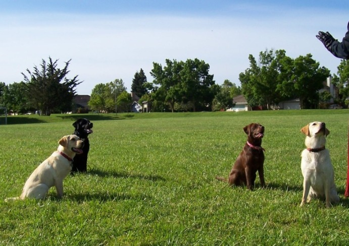 four labs sitting spaced apart in the grass, a human gloved hand is in the right margin of the photo, giving a sit command