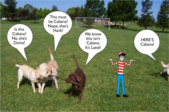 two yellow labs and one chocolate, all with their mouths on a big long stick, cabana's hind end is just showing on the right margin of the photo, the little Where's Waldo cartoon character is standing in the photo with his hands in a shrug, above each lab is a speech bubble, asking if this is cabana