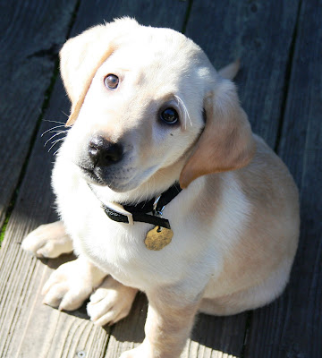 Cabana at about 10 weeks old, sitting on our back deck, looking up at the camera