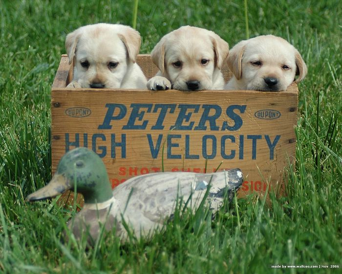 three roly poly yellow labs in a wooden basket with a decoy mallard in front