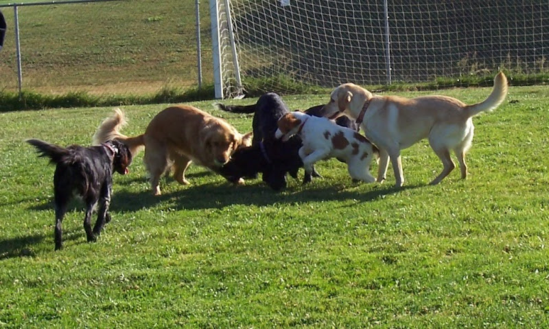 a mass of about six dogs, including cabana, in a jumble of play, they are all looking toward the center, maybe a one of the dogs trying to grab a tennis ball