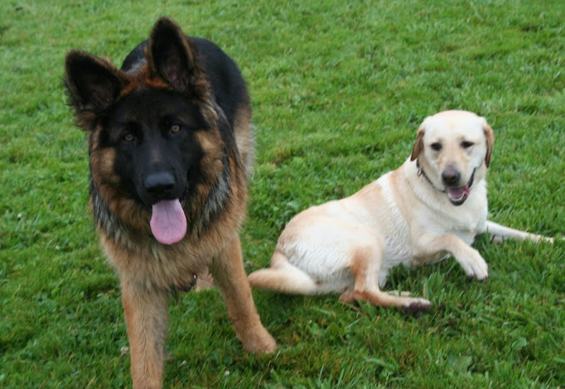 close up of black and tan german shepherd with black face, light caramel colored eyes, and big pink tongue hanging out, beau is looking straight at the camera while cabana lays on the grass beside beau with a silly look on her face, tongue hanging out