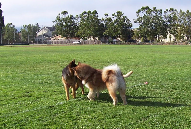 beau and luka standing head to head with their bodies out to oppposite sides, they form sort of a visual wall,you can just see cabana's tail sticking out from the side