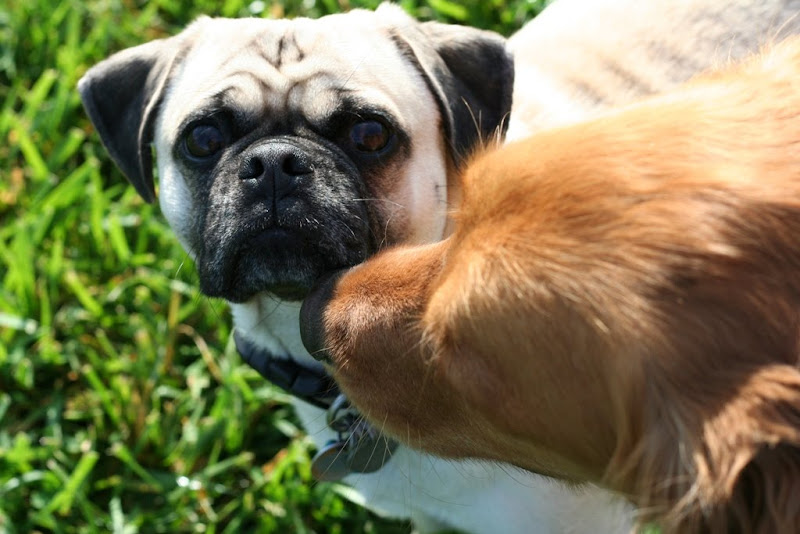 extreme close up of pug's face with his pushed in nose, looking directly into the camera with dark eyes, while the muzzle of a golden retriever sniffs the pug's mouth