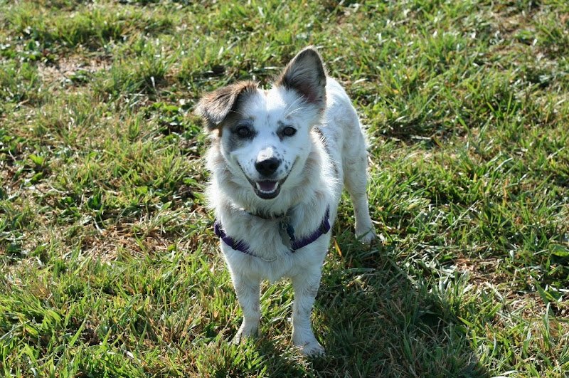 small mixed breed, white with tan markings, smiling at the camera