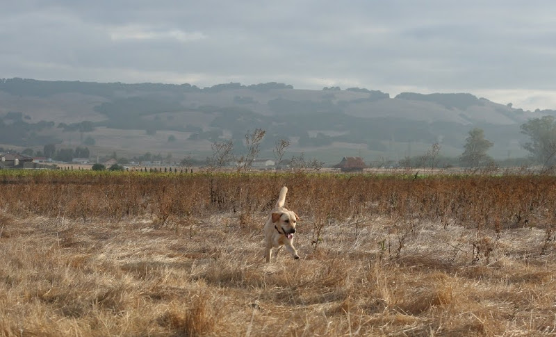 cabana romping happily in field of dried weeds