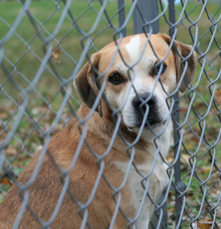 light brown and white spotted dog sitting behind a wire fence, he has a sweet and docile face