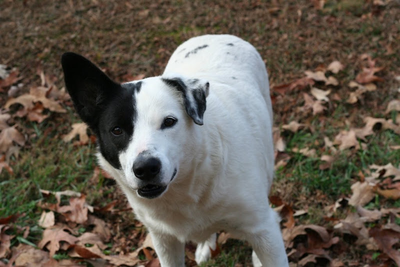 standing on a leaf-covered lawn, a mostly white dog with a black patch over one eye and ear, black ear standings up while other white spotted ear flops down