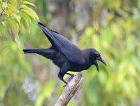 Foto Hewan Punah Burung Gagak Banggai Sulawesi Ternyata Belum Punah Gambar binatang 100 Tahun Dianggap Sudah Sudah Punah Jadi Spesies Langka
