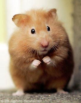 [Image: hamster_1301300.jpg]