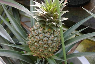 Fiorista mariangela ananas in pianta for Pianta ananas