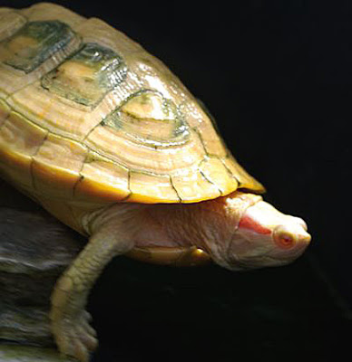 Turtles are reptiles of the order Testudines