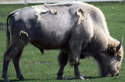 Bison is a taxonomic group containing