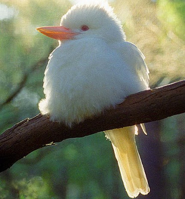 Kookaburras, or Cookaburras, are large to very large terrestrial kingfishers native to Australia and New Guinea