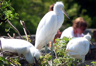 The herons are wading birds in the Ardeidae family