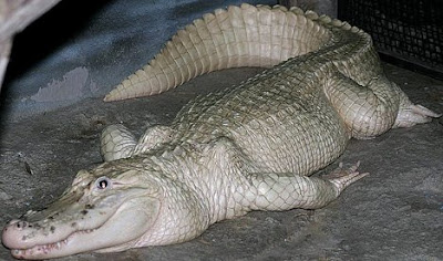 The alligator has been described as a 'living fossil'