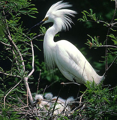 The Snowy Egret is a small white heron