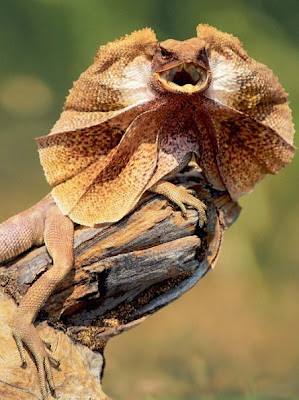 the frilled lizard after opening up its frill