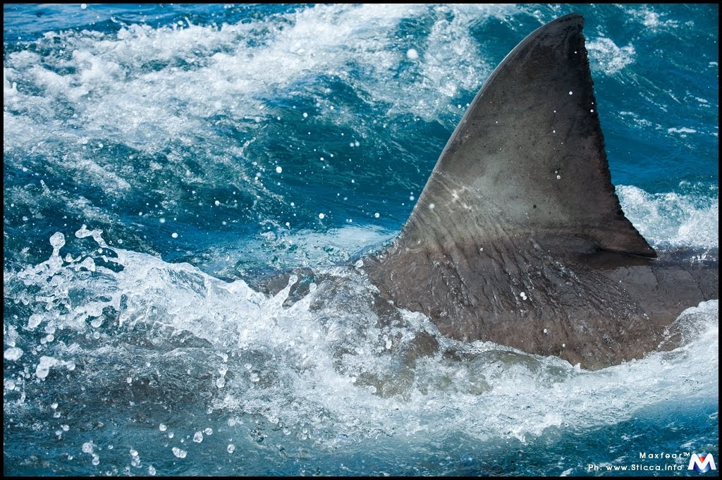 funtessea shark i d  acknowledgement i would like to thank valerie taylor am member of the order of multi award winning underwater action photographer film maker