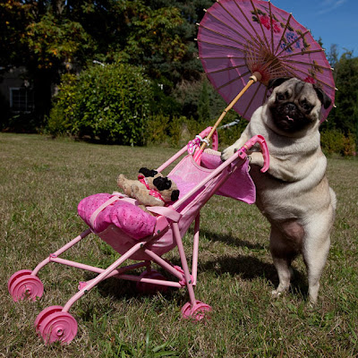 """Jenny the pug, in Oregon, USA, is - according to her owners - so smitten"
