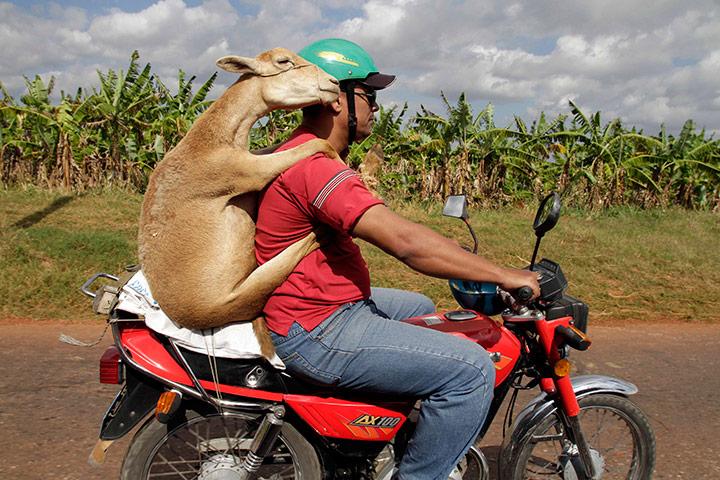 Slavenka & Obi: A man carries a sheep on a motorcycle