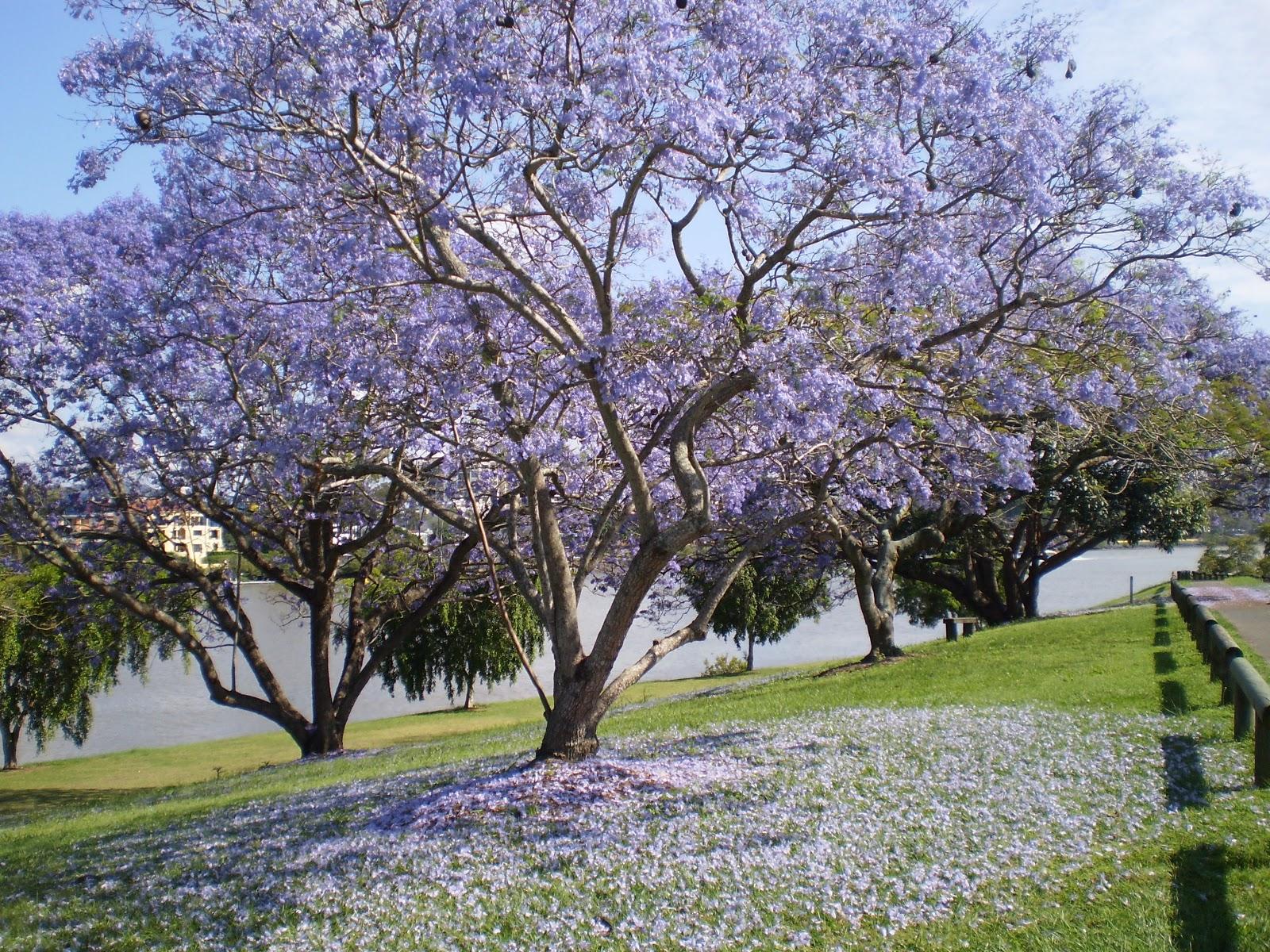 The House That A-M Built: Jacarandas.... And The ...